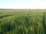 Barley – Commander – 7 September 2012 - Photo 1