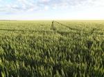 Wheat – Sunvale – 7 September 2012 - Photo 2