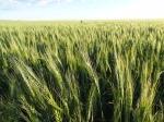 Wheat – Sunvale – 7 September 2012 - Photo 1