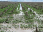 31-07-2010: 50 mm rain on full moisture profile