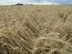 17-11-2010: Ripe wheat lodging