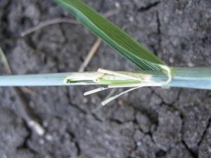 Stem frost wheat 2013