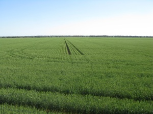 Sunvale wheat September 2013