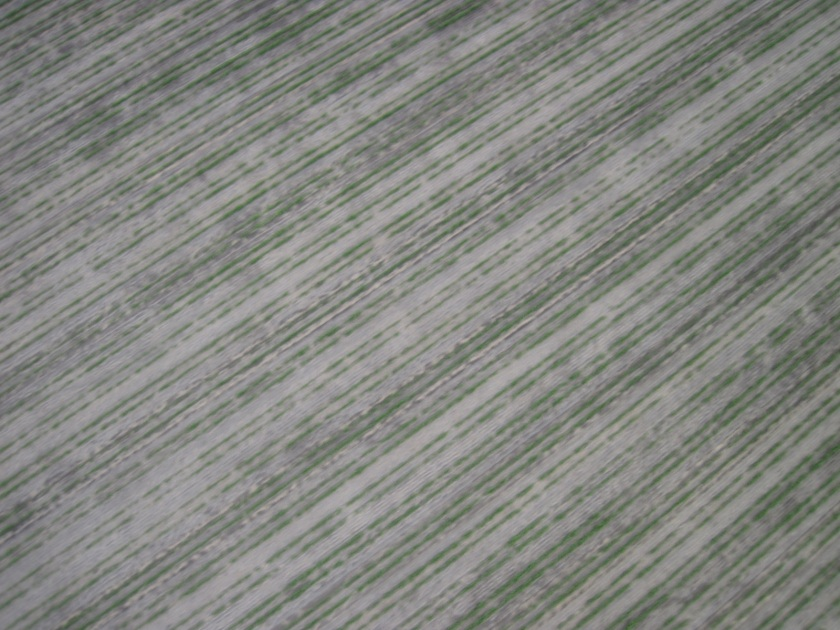 2013/2014 Sorghum from UAV, captured with Canon Powershot D10.