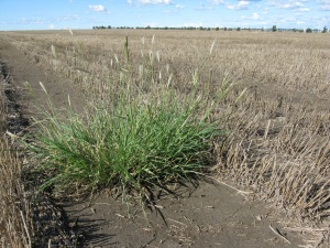 Feathertop Rhodes Grass in a tidy fallow